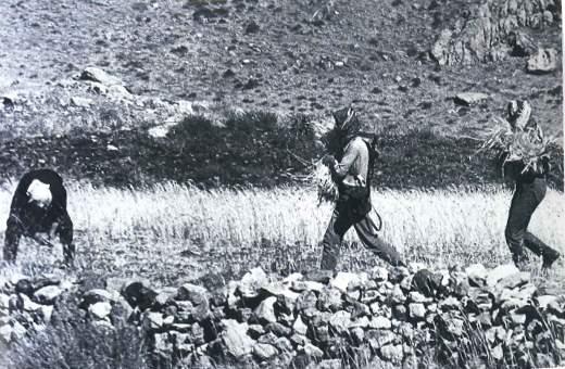 Trois hommes en train de ramasser des épis dans un champs.